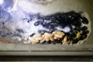 2010年6月採集のクロオオアリの家族 卵・幼虫・蛹を分けて置いていた