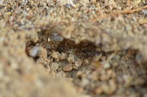 他の小さなアリの巣になっていた