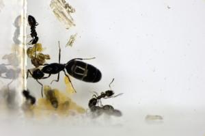 ルリアリの蛹は繭を作らない