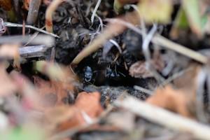 羽蟻の女王アリと雄アリが見えます