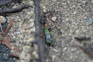 クロヤマアリの巣口
