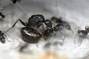 オオアリに腹柄節を咬まれることがよくあります