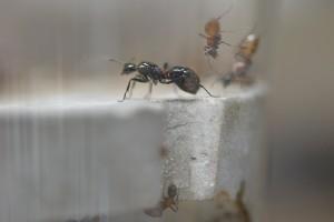トゲアリの女王アリの腹部が膨れ始めている