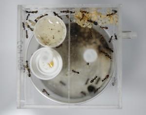 NESTCON01025のトゲアリの巣