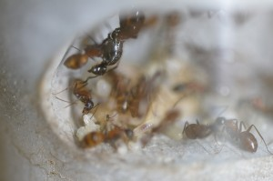 NESTCON01025 ムネアカオオアリの巣