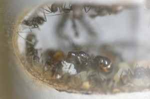 NESTCON01030 クロオオアリの巣