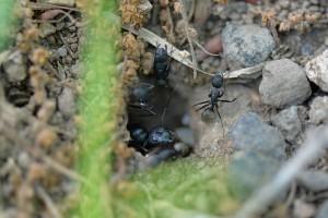 巣穴から顔(頭部)を出して外を伺っている女王アリ