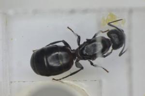 ANTCUB03016 2013年6月15日採集 ムネアカオオアリ 卵10個 昨年は一度も産卵しなかった