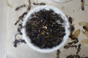 蜜に群がるムネアカオオアリ