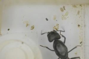 SIMSMA01015 2013年6月5日採集 クロオオアリ 卵2個 羽化を介助できない