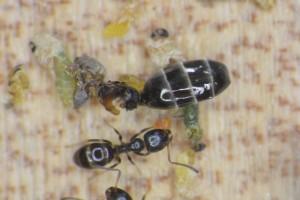 女王アリの死骸 体の中を食べられています