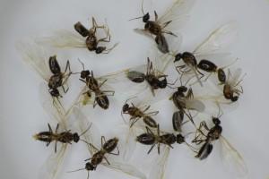 13匹の雄アリがまだ生きていた