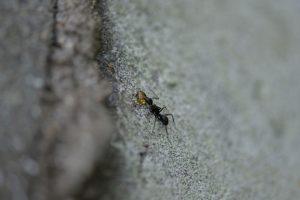 蜜を吸い始めたクロオオアリ