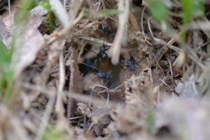 同じ巣の別の巣口には雄アリがいた