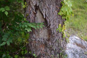 これも枯れていない木 巣口の穴が見える