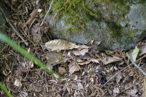 落ち葉で巣口が覆われている