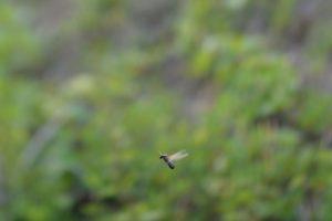 飛び立った直後の有翅雌アリ