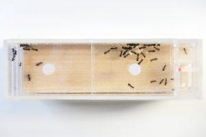 5月20日採集のクロヤマアリのコロニー 働きアリ45匹
