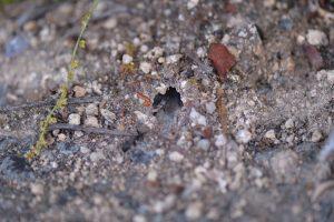 クロオオアリの巣があちこちにあった