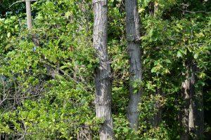庭の外近くにあるクヌギの木 この木にクロオオアリが登っていった