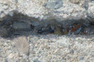 石畳のすき間の巣穴に入る直前のムネアカオオアリ