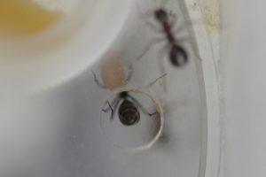 他巣の繭を運んでいる