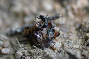 カブトムシに食いつくクロオオアリ