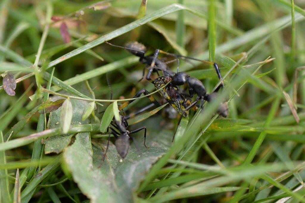 クモの死体を処理するクロオオアリ