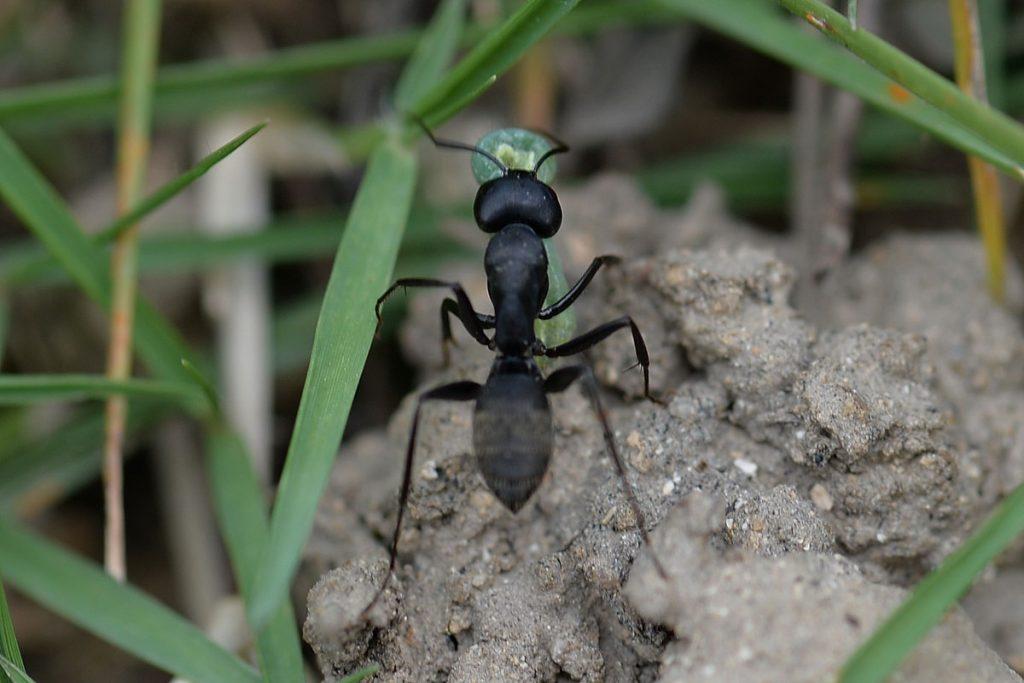 緑色の幼虫を狩してきたクロオオアリ