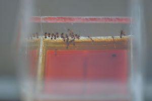 蜜器に集まったオオズアリ まだ大型の働きアリは来ていない 17時17分撮影