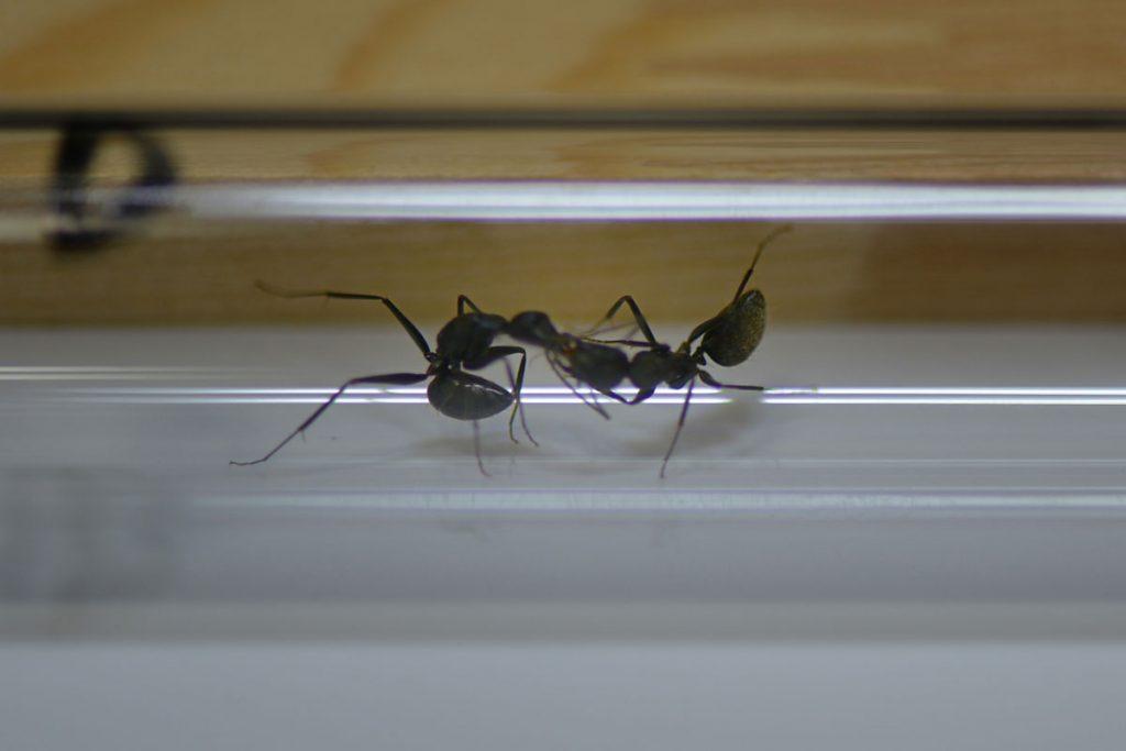 C巣とD巣の働きアリ